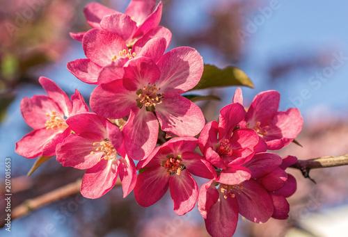 Papiers peints Azalea Blooming pink apple-tree