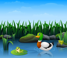 Ducks Swim With Frogs In The River