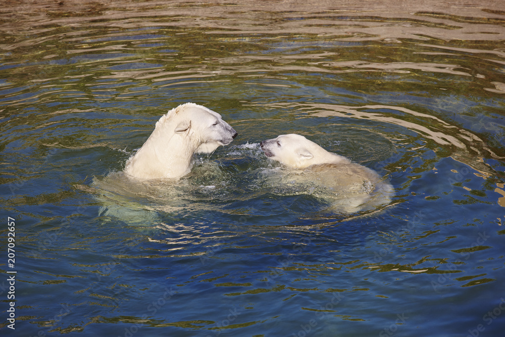 Polar bear swimming with his cub on the water