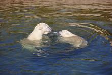 Polar Bear Swimming With His C...