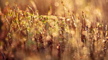 Yellow Moss In Dew Drops At Sunset