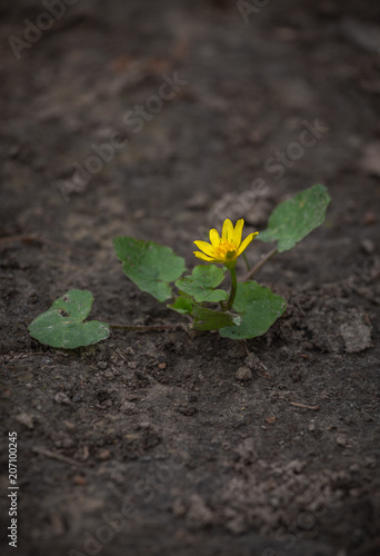 Photo  Ficaria verna, Ranunculus ficaria commonly known as lesser celandine or pilewort