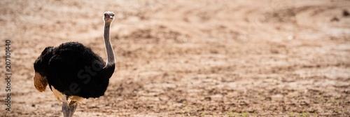 Fotografie, Obraz Ostrich standing on a dusty land