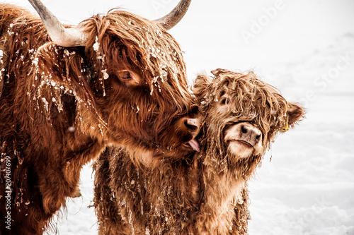 Fototapeta Schottisches Hochlandrind mit Jungtier im Schnee obraz