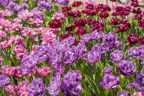 Foto op Canvas Azalea Colorful tulips in a park during tulip festival in Saint Petersburg