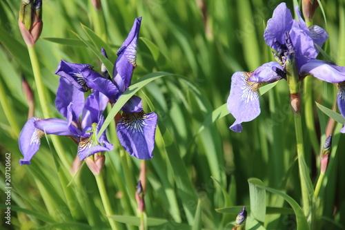 Spoed Foto op Canvas Iris Beautiful blue iris flower