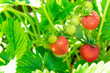 canvas print picture - Strawberry plant. Wild stawberry bushes. Strawberries in growth at garden. Ripe berries and foliage strawberry