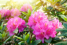 Blossom Rhododendron Bush With...