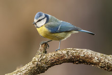 Eurasian Blue Tit (Cyanistes Caeruleus), Perched On A Branch, Castile And Leon, Spain.