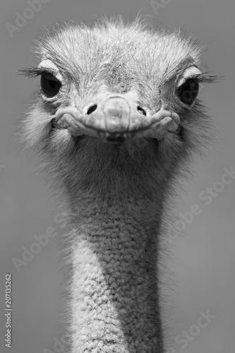 Autocollant pour porte Autruche Retrato avestruz de frente