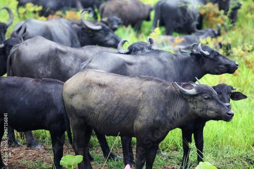 Poster Buffel water buffalo eating grass in a field.