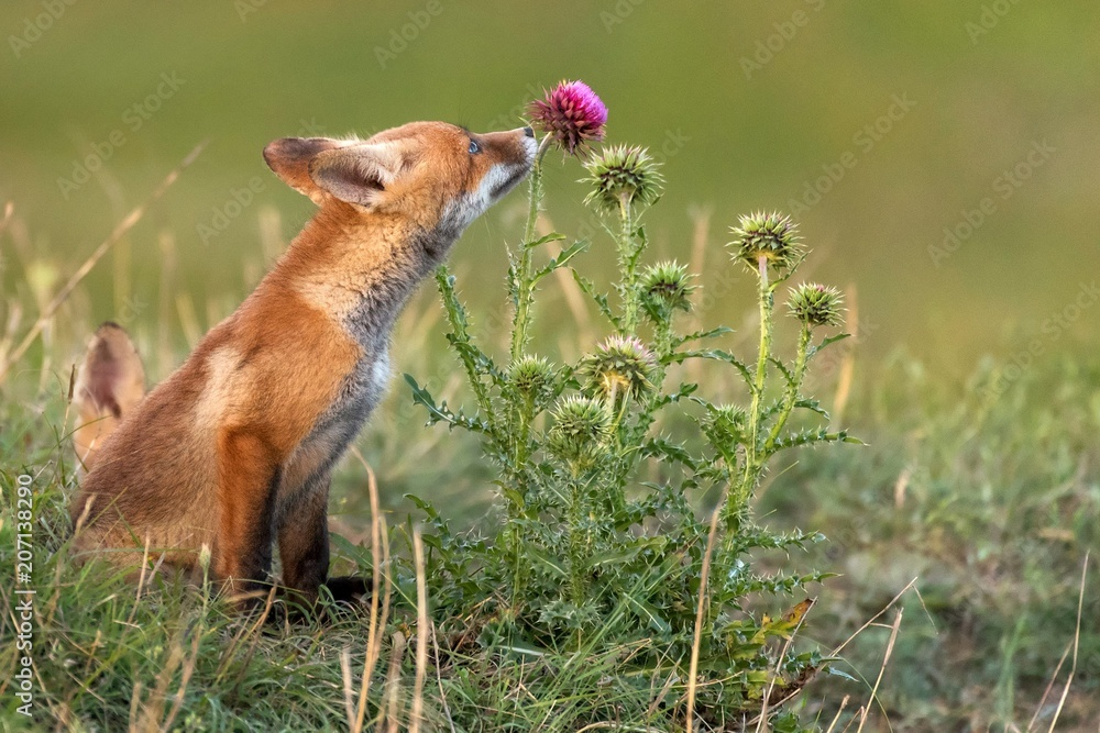 Fototapety, obrazy: Little Red Fox near his hole sniffs a red flower