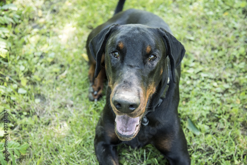 Fotografie, Obraz The Dobermann or Doberman Pinscher in the United States and Canada, is a medium-large breed of domestic dog originally developed around 1890 by Karl Friedrich Louis Dobermann, a tax collector