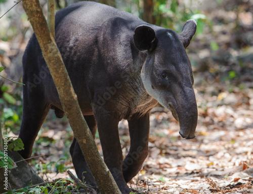 Baird's tapir in Corcovado National Park, Costa Rica Tablou Canvas