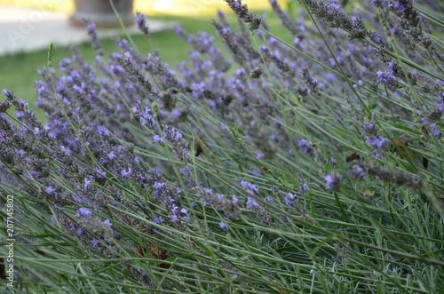 Fotobehang Lavendel Abeilles et bourdons sur pied de lavande en Drôme provençale