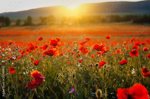Fotobehang Poppy Beautiful image poppy fields in Italy Summer sunset.