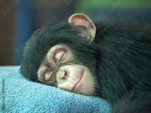 Fototapeta Chimpanzee  sleeping.