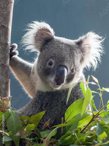 Garden Poster Koala koala bear on tree.