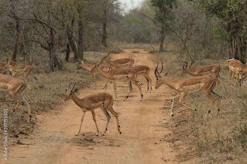 Foto op Plexiglas Antilope Antilope AFS