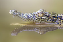 Portrait Of A Crocodile With An Open Mouth In A River, Jakarta, Indonesia