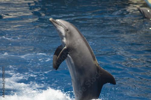 Poster Dolfijn delfines haciendo acrobacias y juegos en la piscina