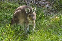 Western Gray Kangaroo Grazing On Green Grass, Perth Western Australia
