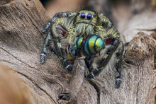 Close Up Of Jumping Spider Eat...