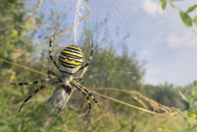 Wasp Spider Eating Prey Caught In Its Spider Web