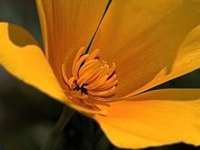 Close-up Of A Mexican Poppy Flower, Arizona, America, USA