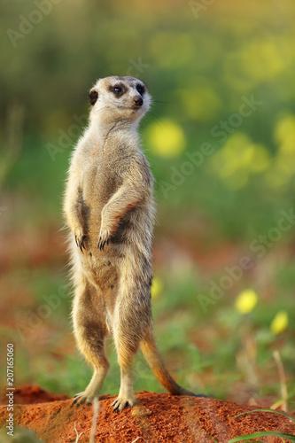 Fotografía The meerkat or suricate (Suricata suricatta) in the blossoming desert