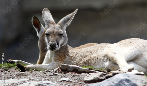 Keuken foto achterwand Kangoeroe kangourou
