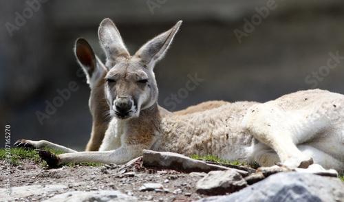 Foto op Plexiglas Kangoeroe kangourou