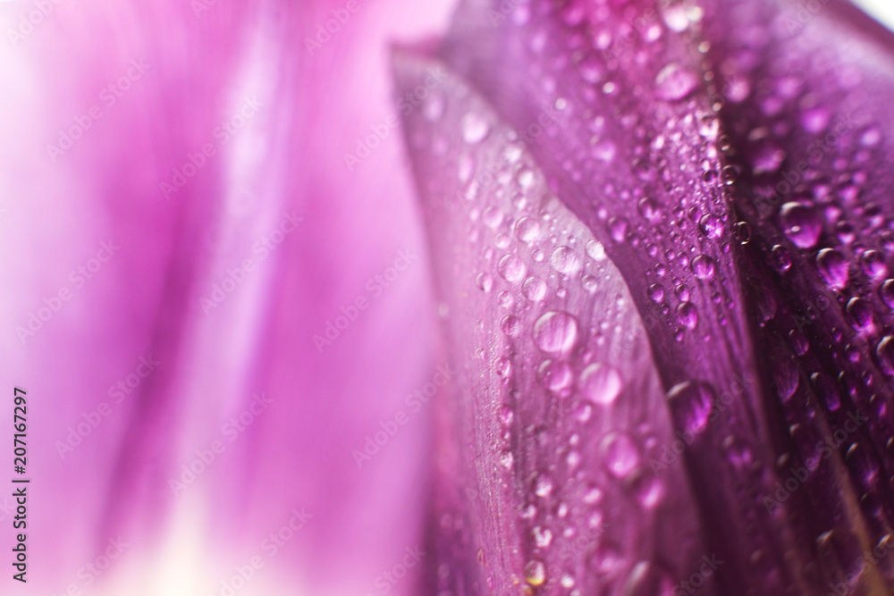 Fototapety, obrazy: flower petal with water droplets macro. tulip