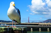 Seagull With Golden Gate Bridge