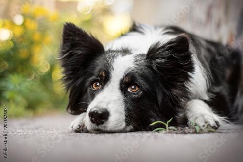 border collie dog portrait Fototapet
