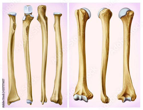 Frontal and lateral view of the humerus and radial bone, long bones ...