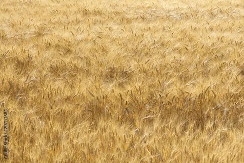 Fotografie, Obraz Spighe di grano