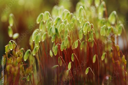 Fototapeta Serrate Dung Moss close up. Bright macro shot. Spring time.