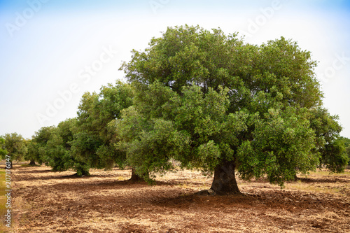 Foto op Aluminium Olijfboom Olive plantation with old olive tree in the Apulia region, Italy