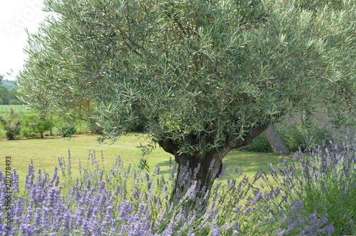 Foto auf Leinwand Lavendel Oliviers et lavande en Drôme provençale,