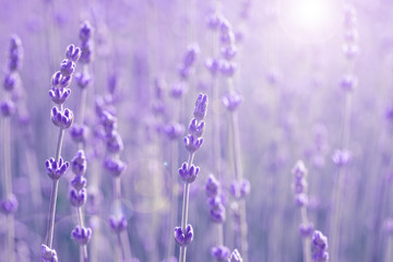 field lavender morning