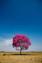 Secluded Tree With Pink Leaves...