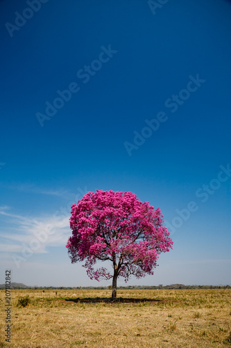 Secluded tree with pink leaves and blue sky