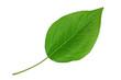 Leinwanddruck Bild - Pear leaf closeup on white