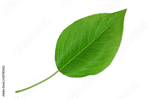 Pear leaf closeup on white