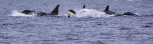 A Killer Whale Is Looking On T...