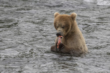 Brown Bear (Grizzly) Eating A ...