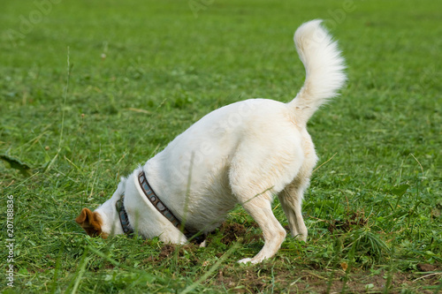 Terriermischling gräbt ein Loch in einer Wiese Canvas-taulu