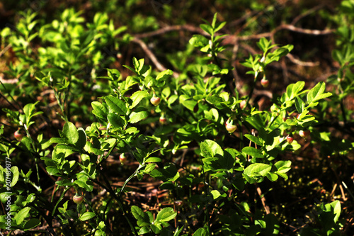 Photo bush of young blueberries in spring, early summer
