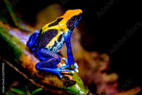 Canvas Prints Frog The dyeing dart frog, tinc (a nickname given by those in the hobby of keeping dart frogs), or dyeing poison frog (Dendrobates tinctorius) is a species of poison dart frog